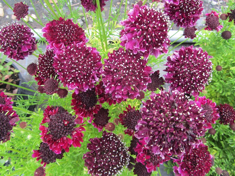 Scabiosa Summer Nights
