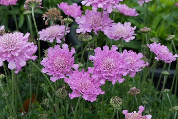 Scabiosa Flutter™ Pink
