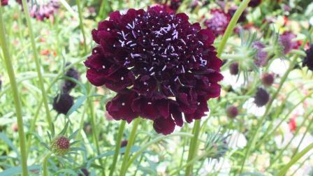 Scabiosa Scoop Blackberry
