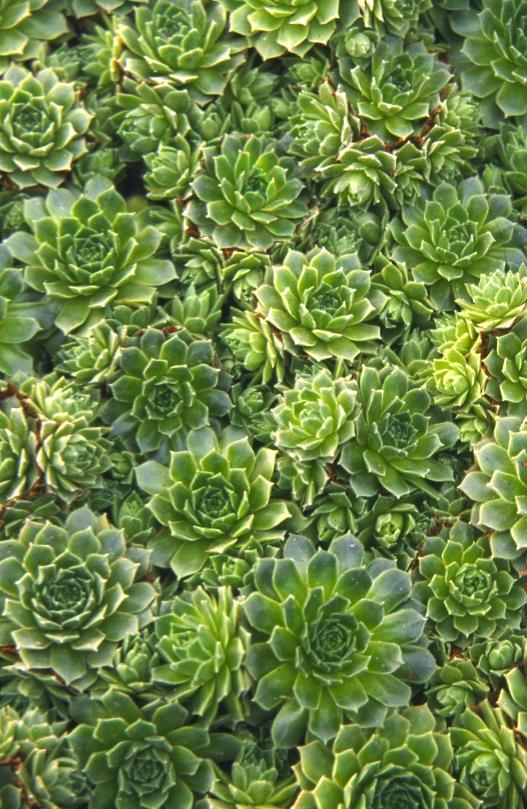 Sempervivum Standard Green