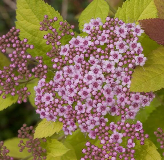 Spiraea Double Play® Big Bang