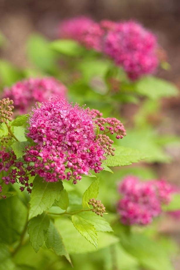 Spiraea Double Play® Gold