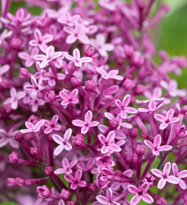 Syringa Bloomerang Dark Purple
