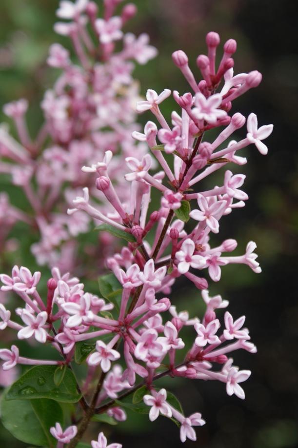 Syringa Bloomerang Pink Perfume