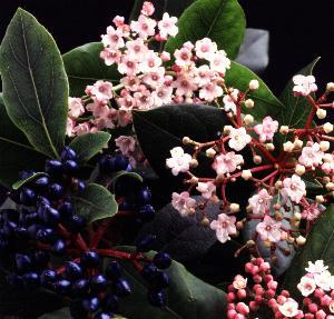 Viburnum Eve Price